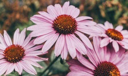 Echinacea rozkvetlá v přírodě.
